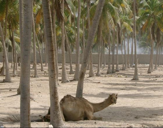 salalah_oman-camel-coconut-trees